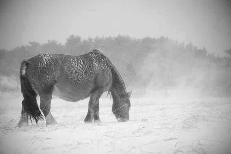 アタカで冬を越す寒立馬。春香さん