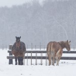 小雪舞う放牧地